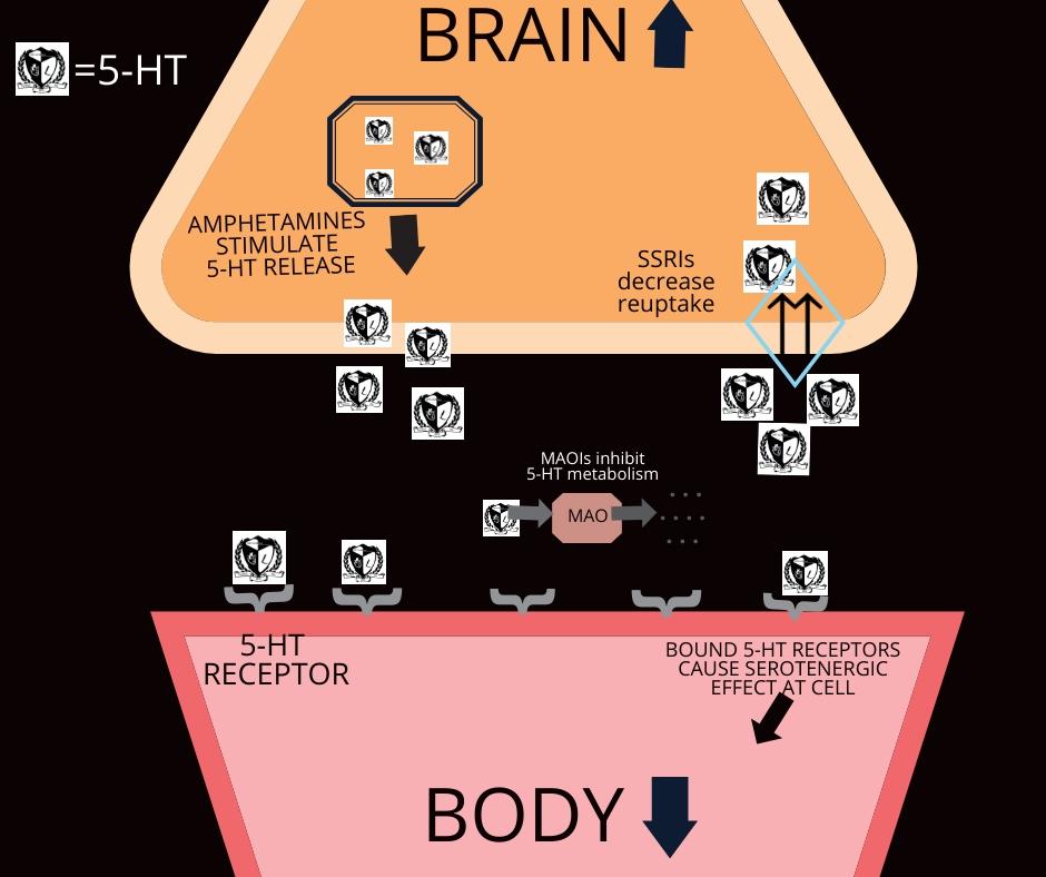 Serotonin Syndrome By Jace Mullen