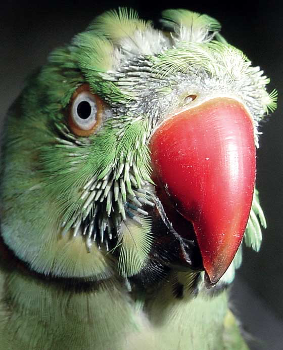 Mustached parakeet with facial dermatitis resulting in feather loss and replacement