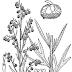 Ngải thơm Artemisia dracunculus,ART00095