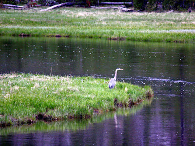 Great Blue Heron in Yellowstone National Park
