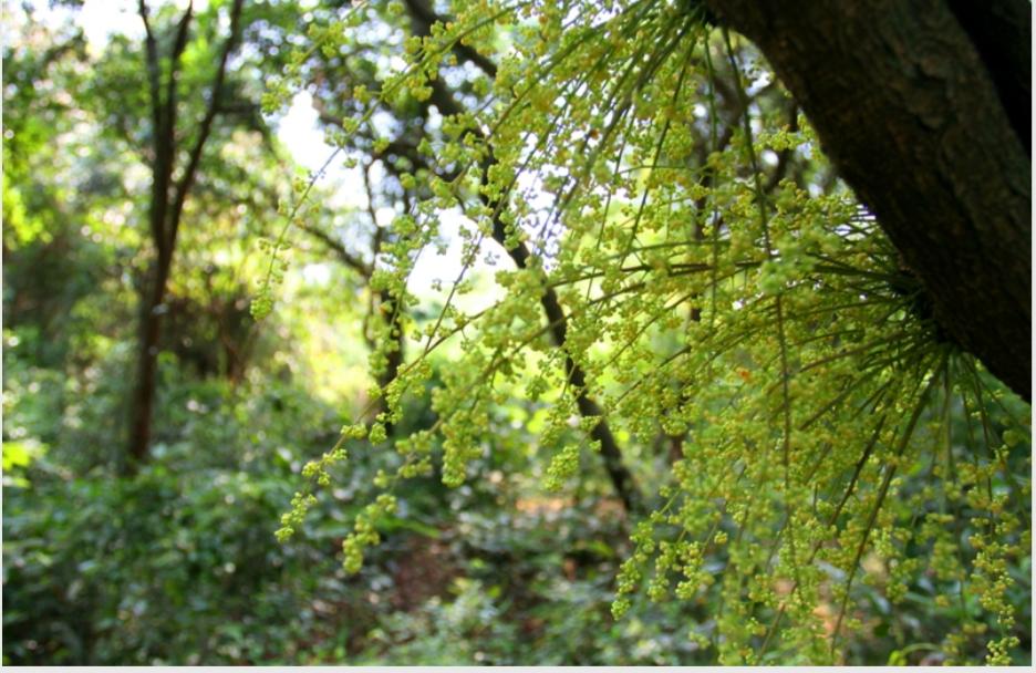 Mùa hoa chõi nở trên rừng chõi nguyên sinh ở đảo Cô Tô