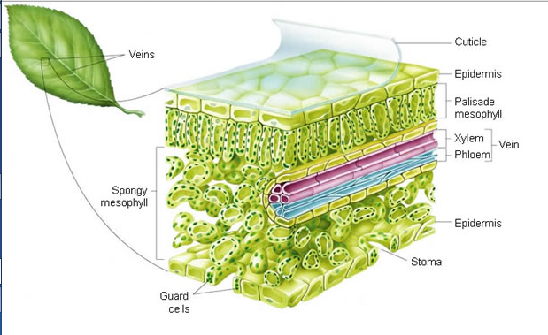 Dr Hill Science News  Science Diagram Leaf Cell