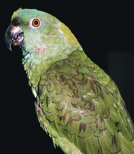 This yellow-naped Amazon with a history of an all seed, nut, table food diet has keratin accumulating on the feet and beak