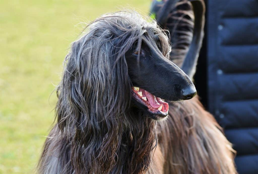 a closeup picture of an afghan hound
