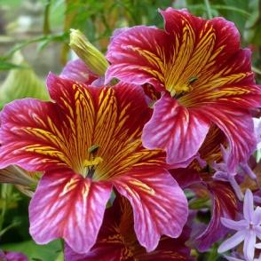 https://australianseed.com/persistent/catalogue_images/products/salpiglossis-superbissima.jpg