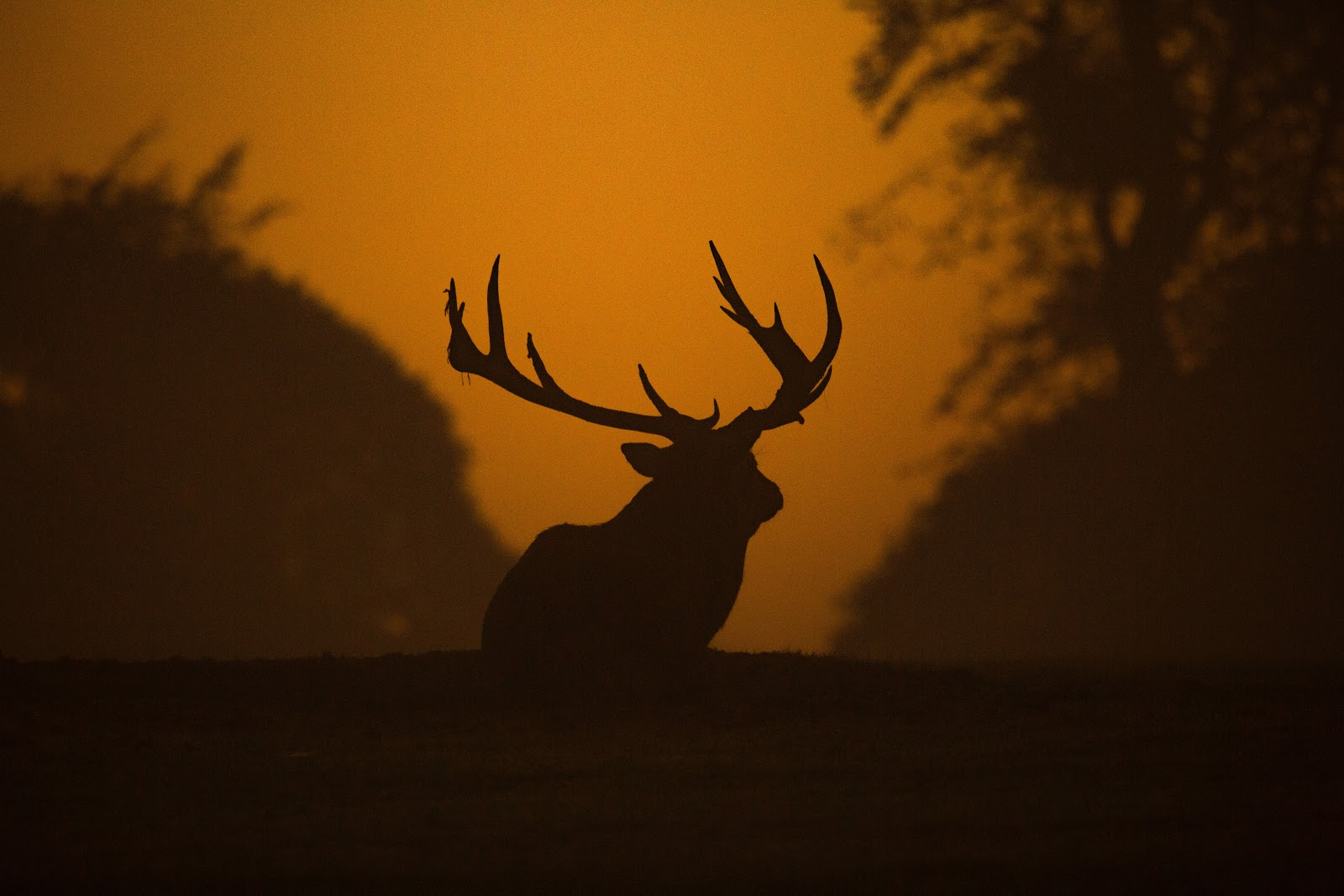 Shadow outline of an animal with antlers against an orange sky background
