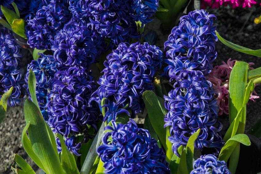 Kolor niebieski w ogrodzie