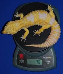 Image result for weighing leopard gecko