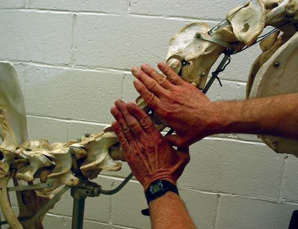 For the average sized horse, the width of a cervical vertebra is the width of a hand palm