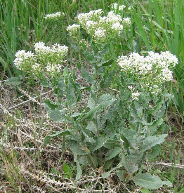 http://www.co.laplata.co.us/sites/default/files/departments/weed/enforceable_weeds/images/whitetop_plant.jpg