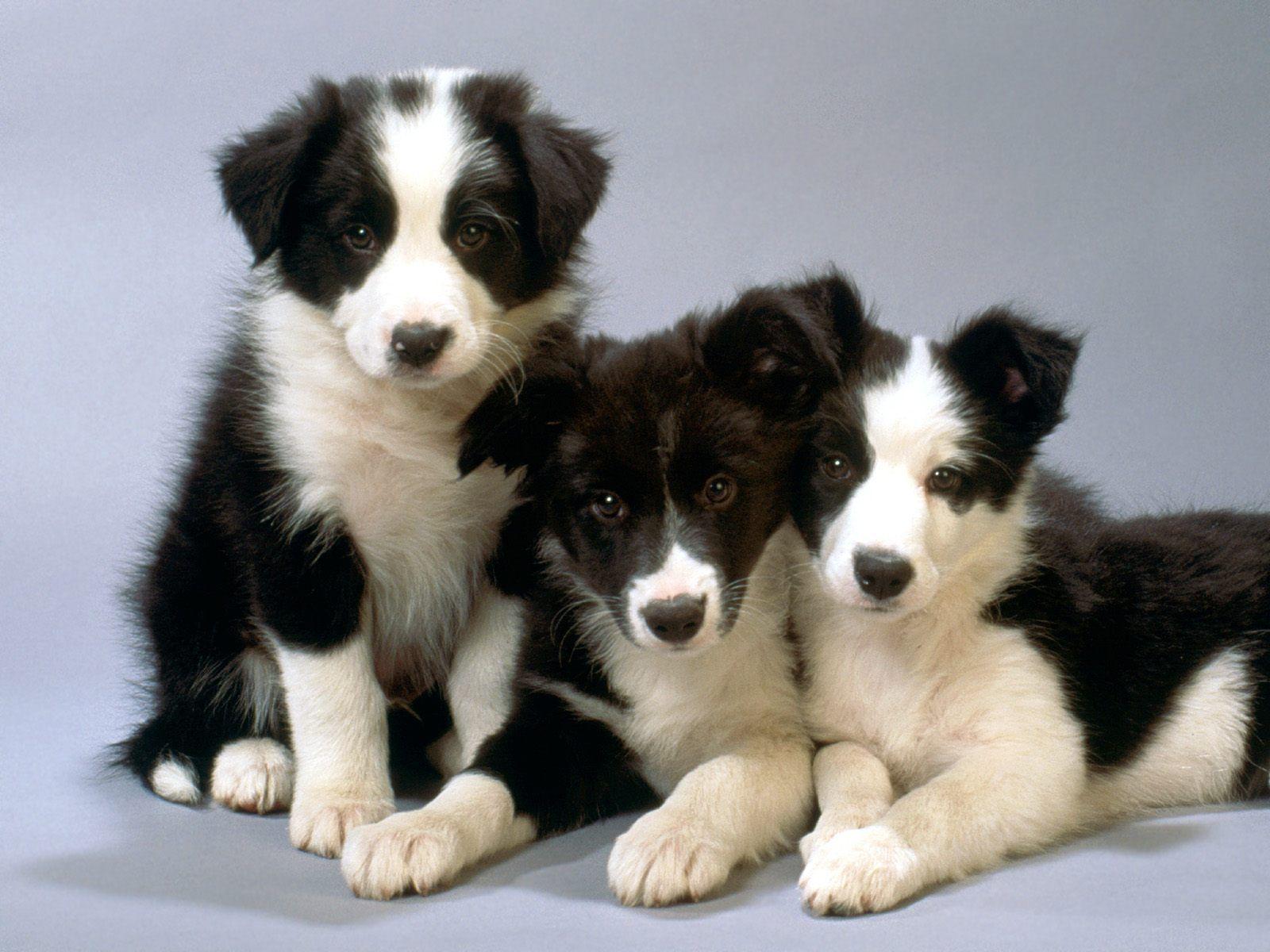 nên mua chó border collie con từ 2 tháng tuổi để dễ nuôi hơn
