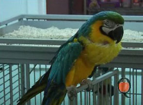 A macaw with goiter.