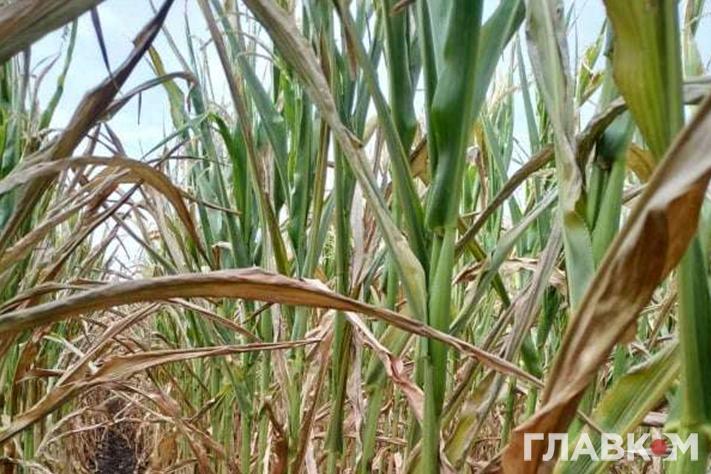 Посіви кукурудзи у Київські області: станом на серпень качанів нема (фото: «Главком»)