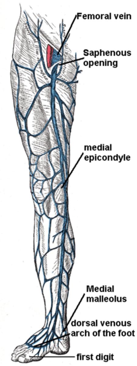 Shallow Leg Veins
