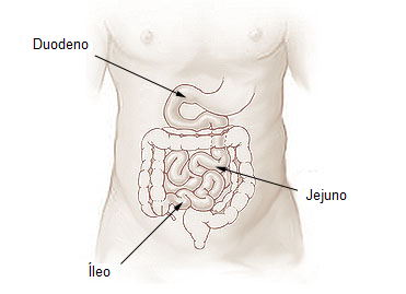 Jejuno - anatomia dos intestinos delgado e grosso