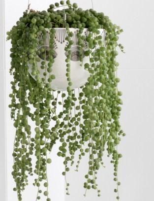 Image result for succulent string of pearls