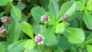 poduthalai-leafe