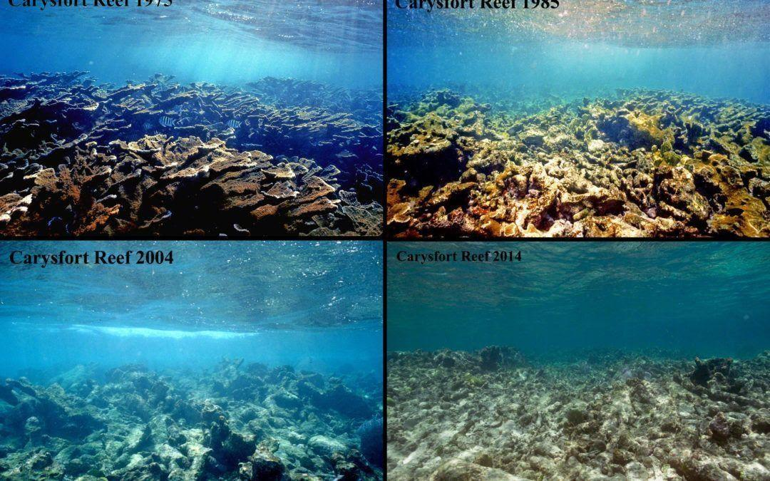 Carysfort Reef: A Full Restoration | Coral reef, Restoration, News ...