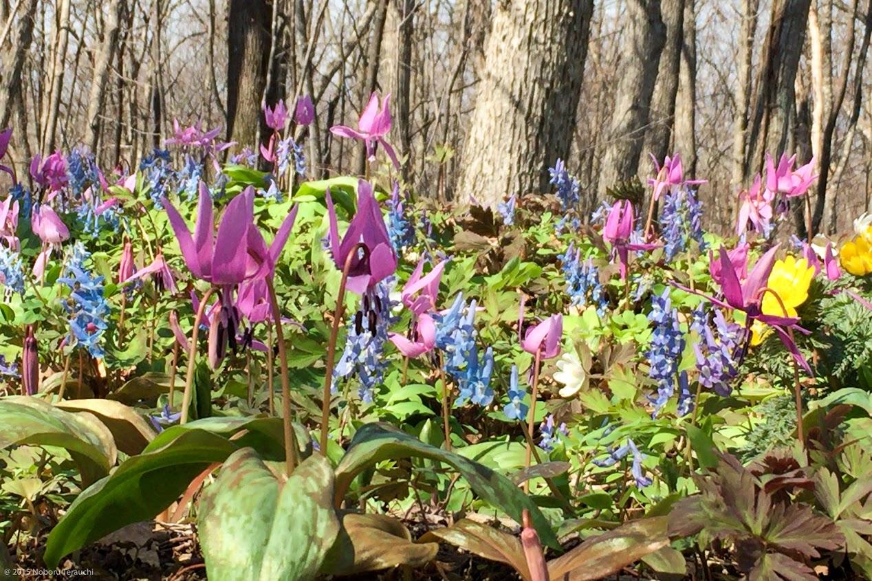 紫のカタクリと青いエゾエンゴサクの響宴