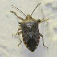 unid. insect
