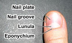 Description: Fingernail label (enwiki).jpg