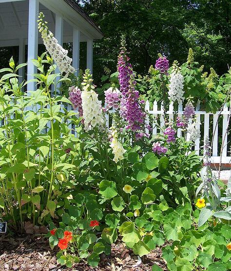 Цветы для сада, наперстянка, наперстянка выращивание, наперстянка фото
