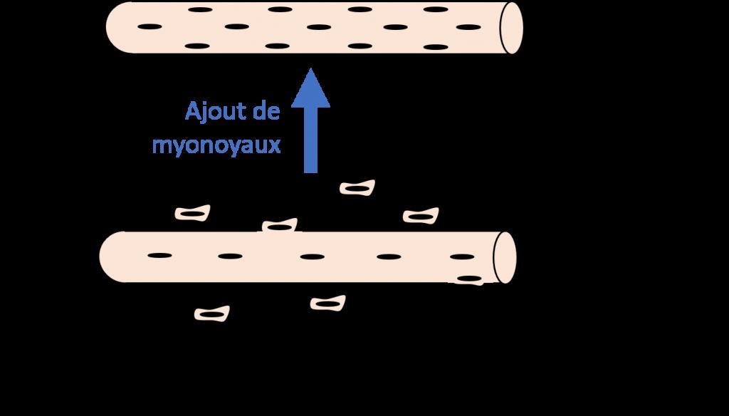 schema ajout myonoyaux