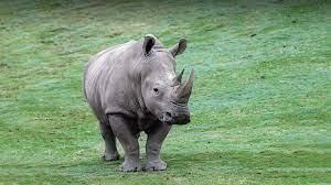 White Rhinoceros   San Diego Zoo Animals & Plants