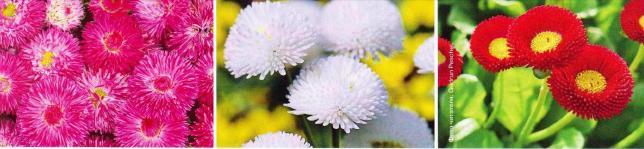 Цветы для сада, Маргаритки, маргаритки цветы