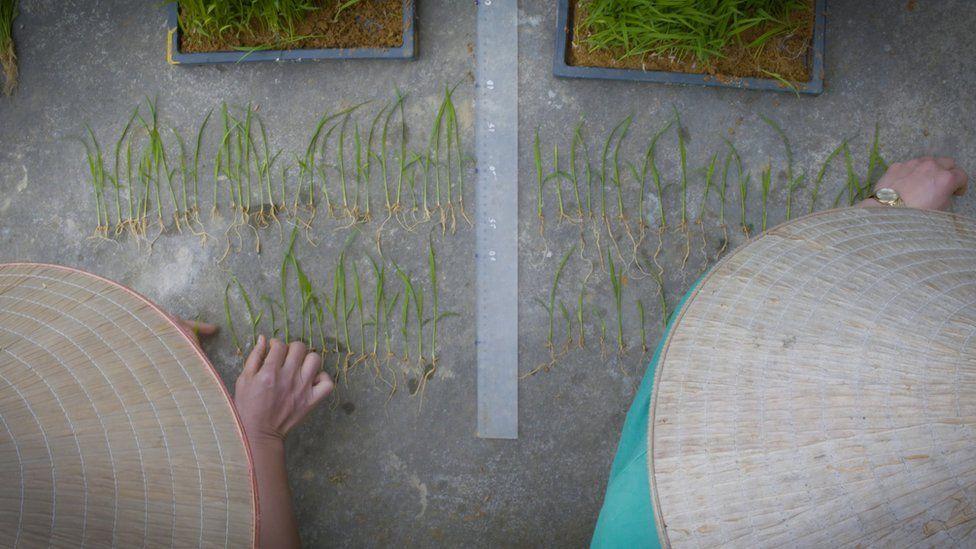 Исследователи сравнивают ростки риса, получившие специальные бактерии, с контрольной группой ростков