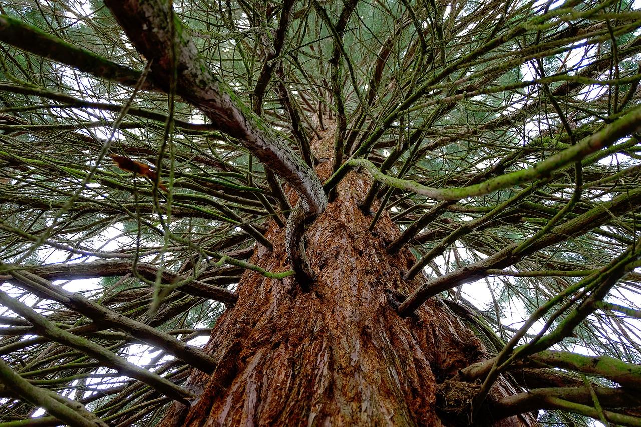 Wie schnell wächst ein Mammutbaum?