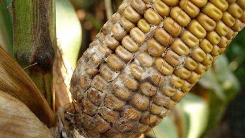 Хвороби кукурудзи: шкодочинність, небезпека, можливості та заходи ...