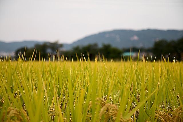 Champs de riz pas encore prêt pour la récolte