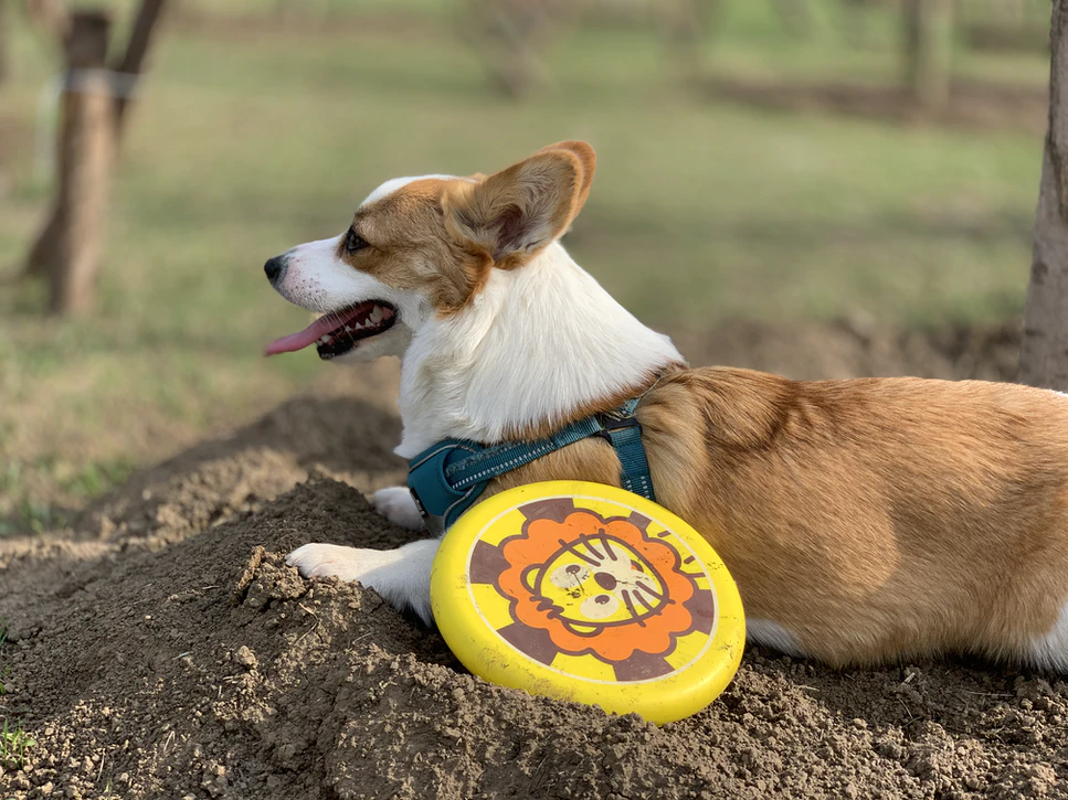 Resting dog with a Frisbee