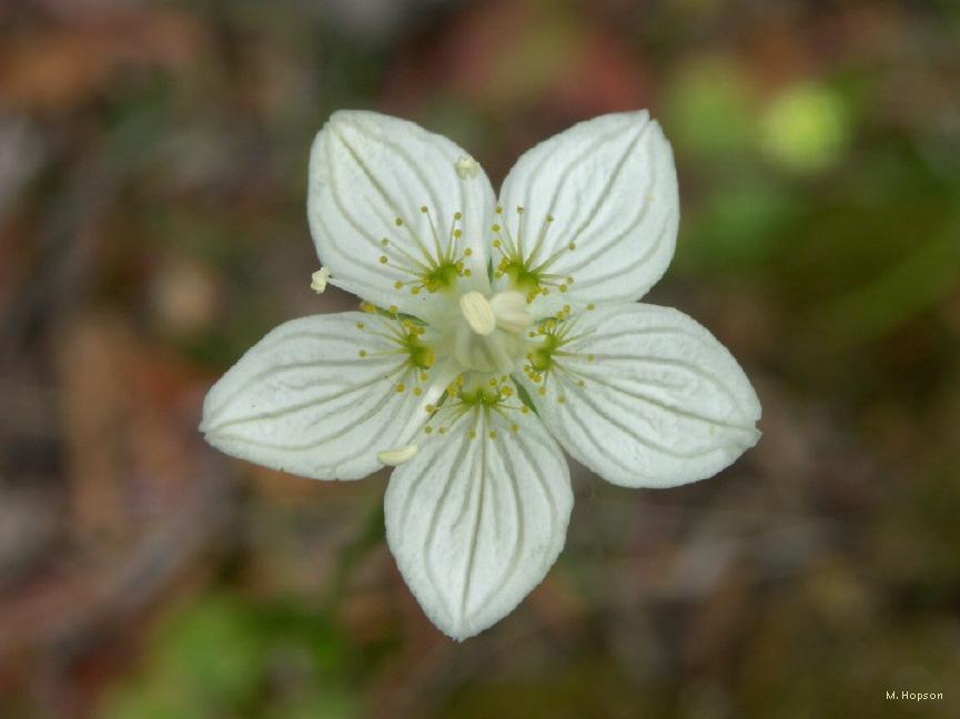 bog-star-flower.jpg