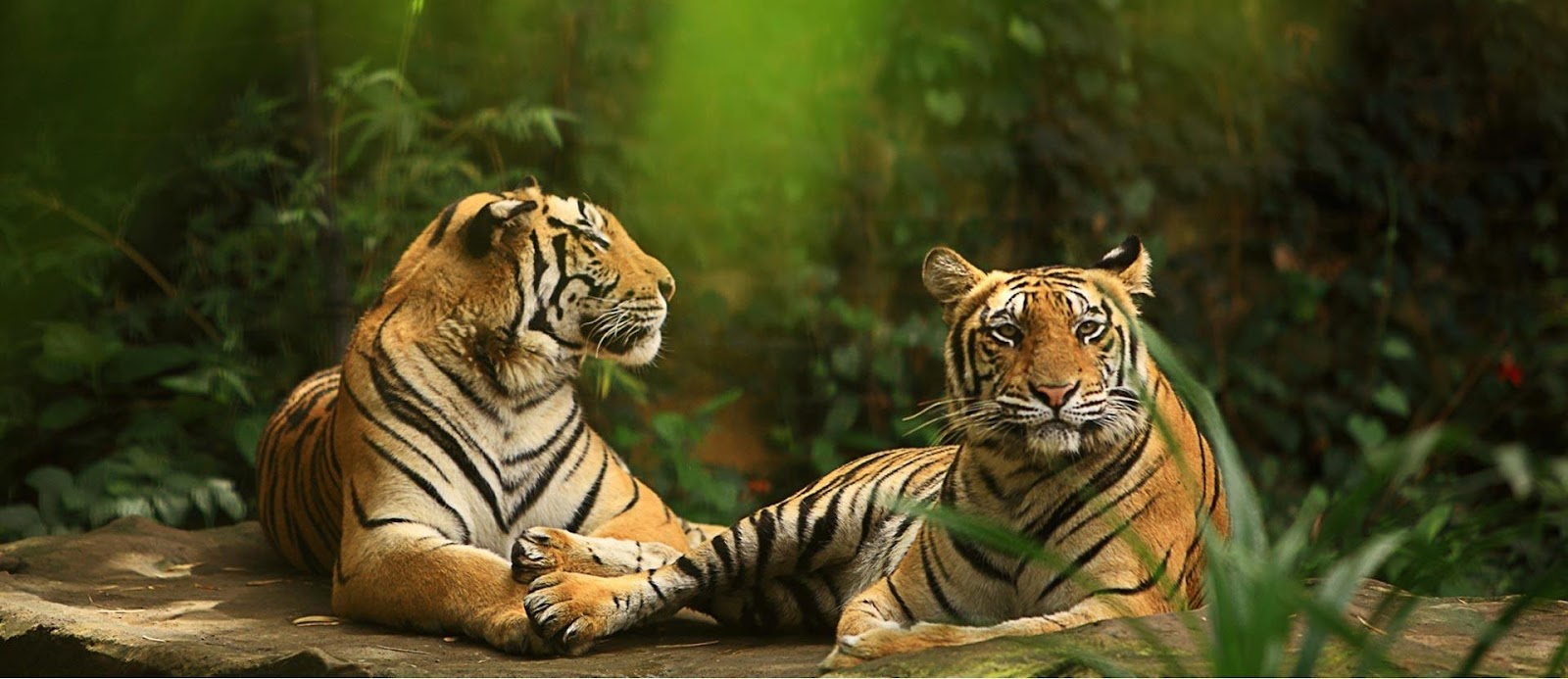 harimau bali-zoocom.jpg