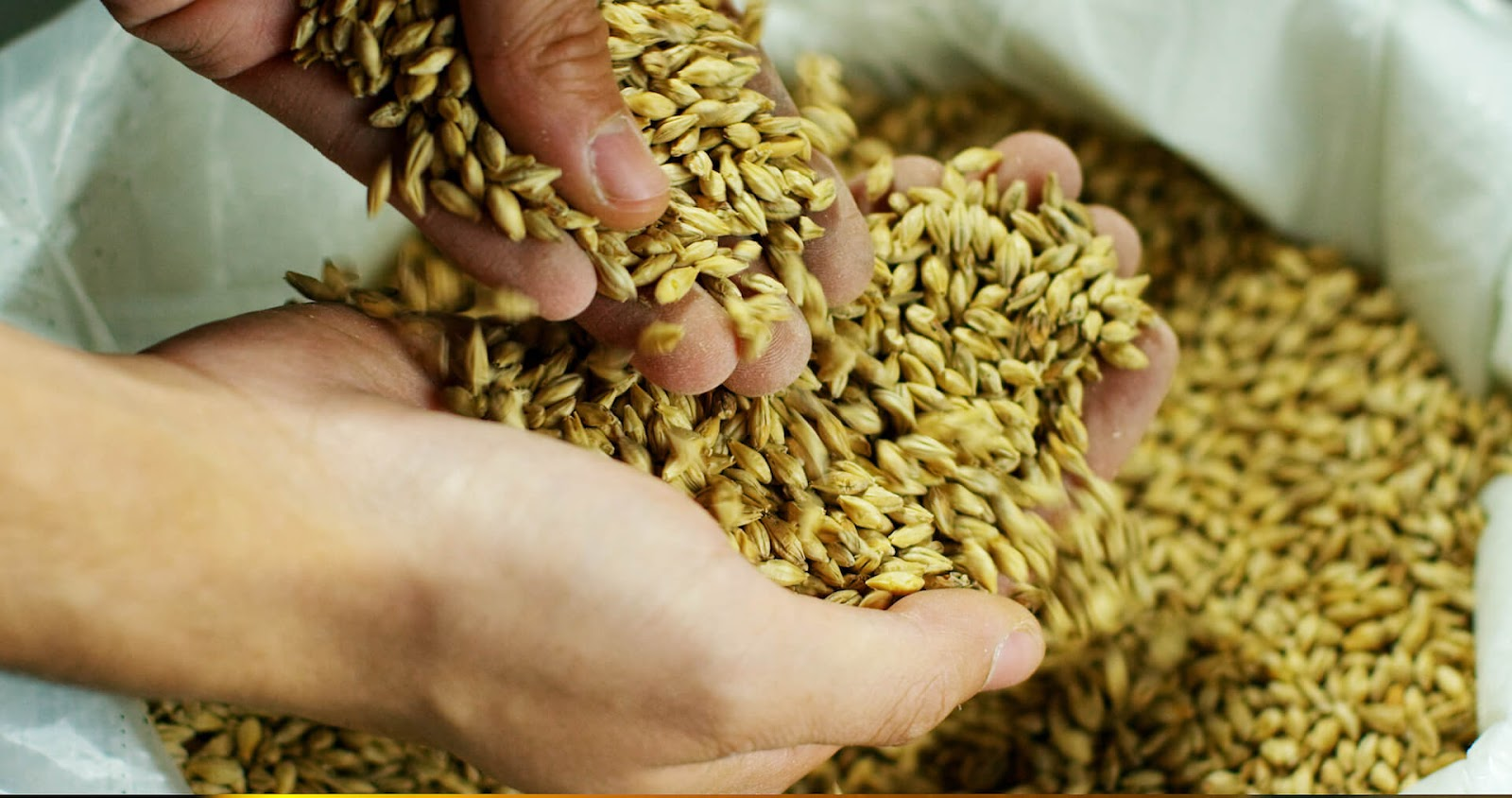 Hand holding malted barley in their hands, getting ready to make homemade whiskey