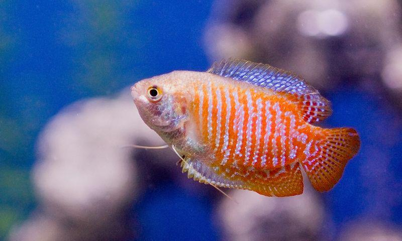 File:Dwarf gourami common color morph.jpg