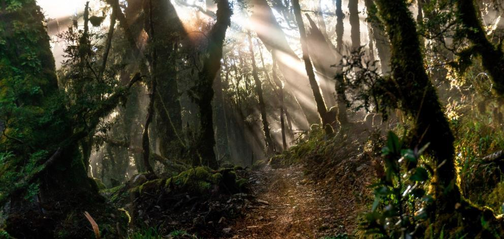 Sunlight filters through the bush, turning a section of the Paparoa Track gold. PHOTO: TOM...