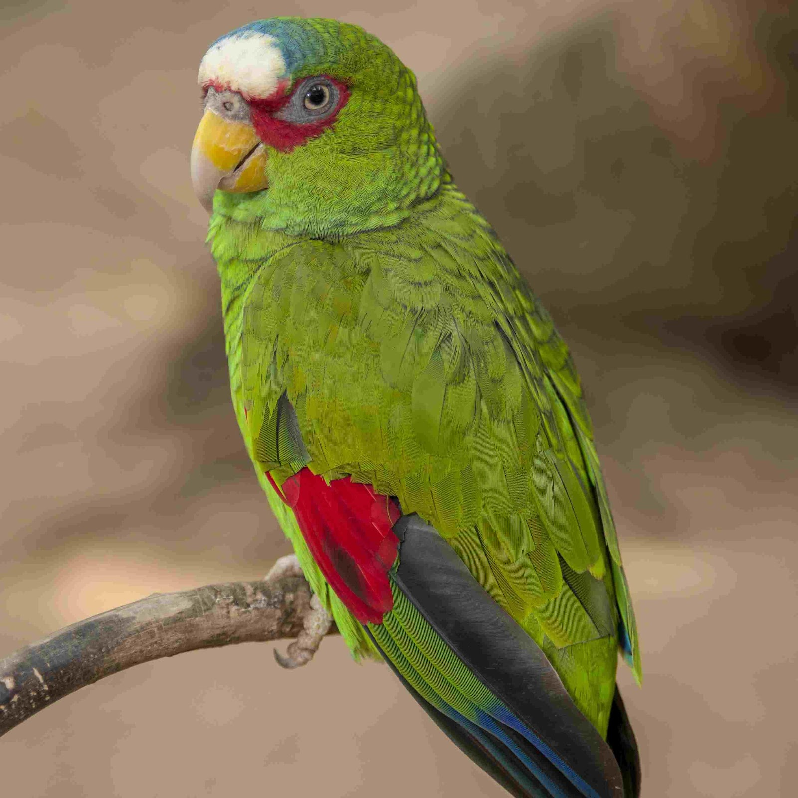 Best talking parrots to keep as pets