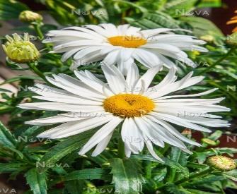 Leucanthemum Spoonful of Sugar - Media Database