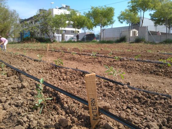 Plantada tomaqueres 18 04 2015.jpg