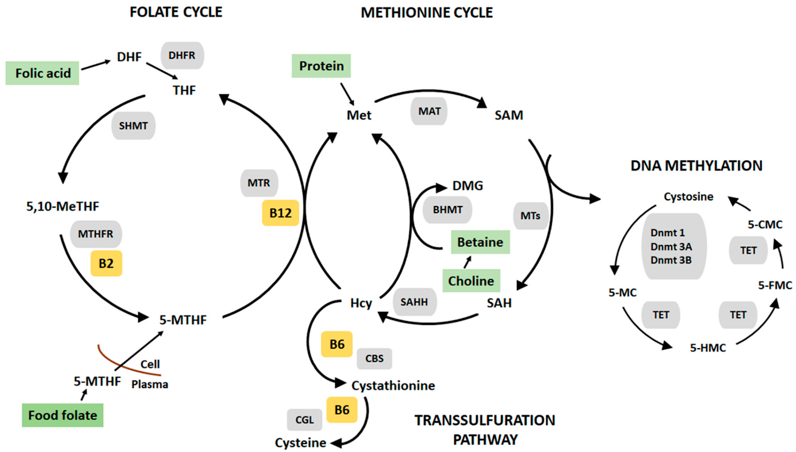 Folate and methionine cycles, which involves the MTHFR enzyme