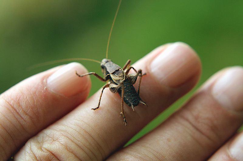Cricket on fingers