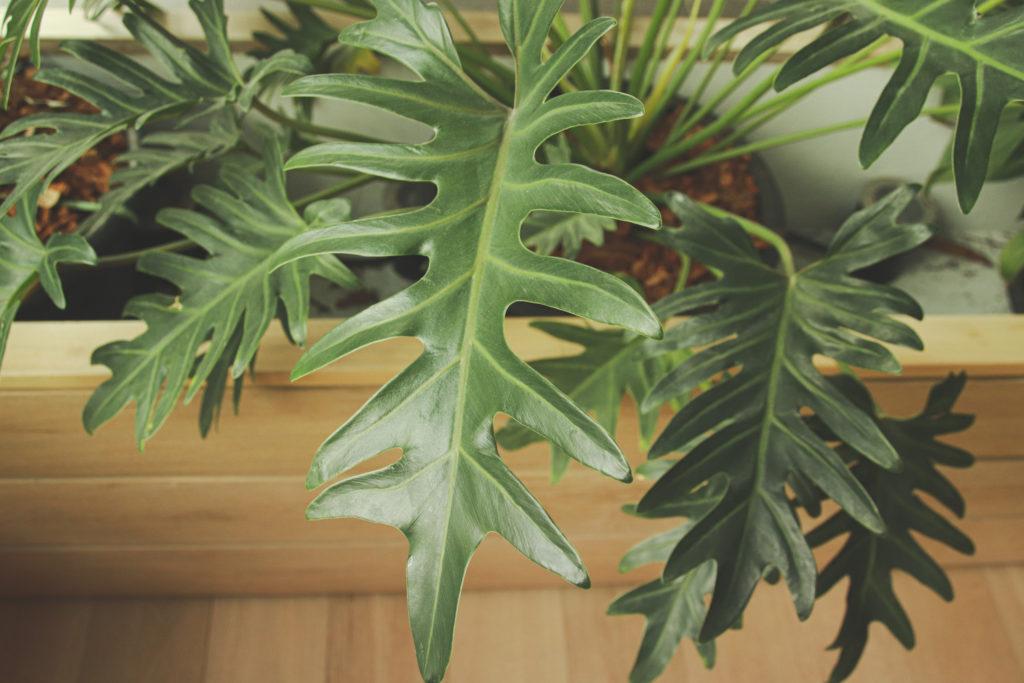 philodendron soorten bipinnatifidum