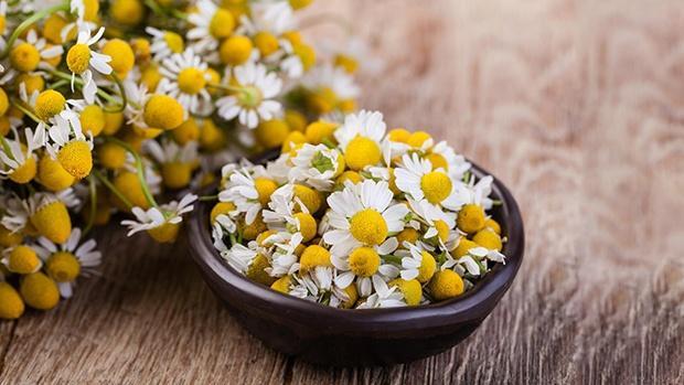 Lợi ích của hoa cúc La Mã: Trị mất ngủ, trị mụn và nhiều lợi ích khác