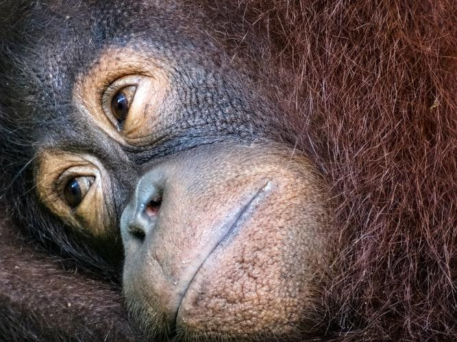 Will orangutans go extinct?