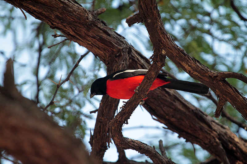 Crimson breasted shrike in Hwange