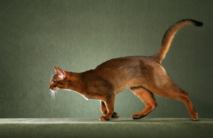 Mèo Abyssinian rất có khí chất quý tộc
