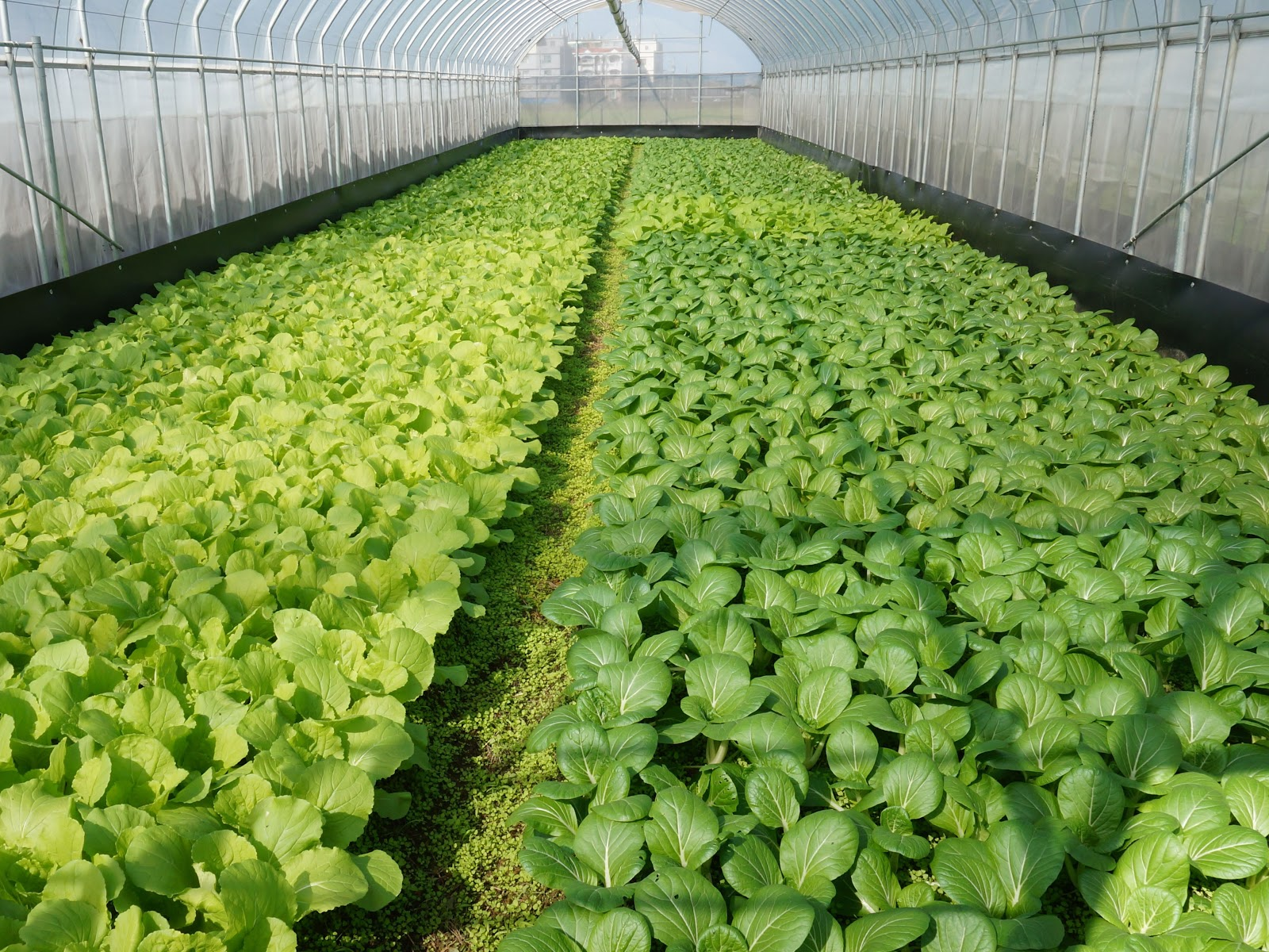 信勢網室有機蔬菜園一片綠意盎然,種植十多種葉菜類-1.jpg